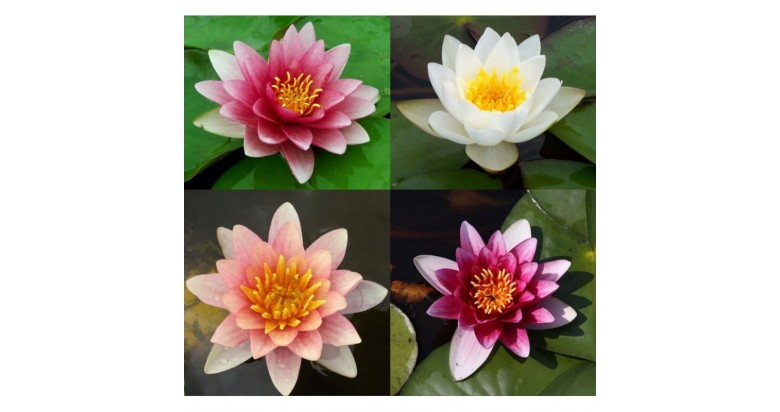 Water lilies to shade your pond