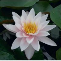 Marliacea Carnea Lily - 1L