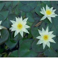 Pygmaea Helvola Lily - 1L