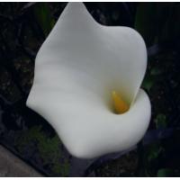 Arum Lily (Zantedeschia aethiopica) - 1L
