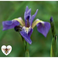 Blue Flag Iris (Iris versicolor) - 1L