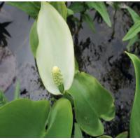 Bog Arum (Calla palustris) - 9cm