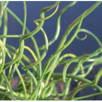 Corkscrew Rush (Juncus effusus spiralis) - 9cm