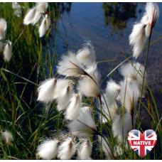 Cotton Grass (Eriophorum angustifolium) - 9cm