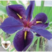 Iris - Black Gamecock (Iris louisiana 'Black Gamecock') - 1L