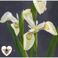 Iris - Alba (Iris pseudacorus alba) - 1L