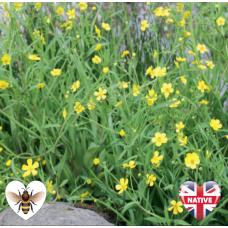 Lesser Spearwort (Ranunculus flammula) - 9cm