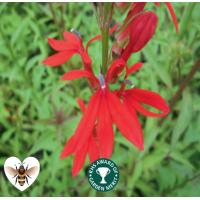 Cardinal Flower (Lobelia cardinalis) - 9cm