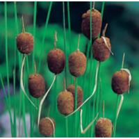 Miniature Reedmace (Typha minima) - 9cm
