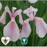 Iris - Rose Queen (Iris ensata 'Rose Queen') - 1L