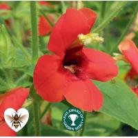 Scarlet Monkey Flower (Mimulus cardinalis) - 9cm