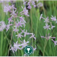 Society Garlic (Tulbaghia violacea) - 9cm