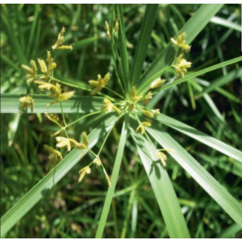 Umbrella Palm (Cyperus alternifolius) - 9cm