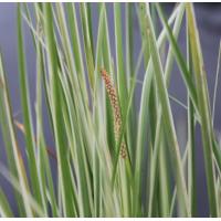 Variegated Slender Sweet Flag (Acorus gramineus variegatus) - 9cm