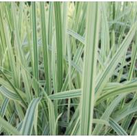 Variegated Reed Sweet Grass (Glyceria maxima variegata) - 9cm