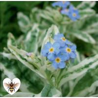 Variegated Water Forget-Me-Not (Myosotis scorpiodes variegata) - 9cm