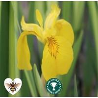 Iris - Variegated Yellow Flag (Iris pseudacorus 'Variegata') - 1L