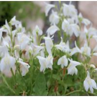 White Chinese Marshflower (Mazus reptans 'alba') - 9cm