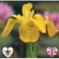 Yellow Flag Iris (Iris pseudacorus) - 9cm