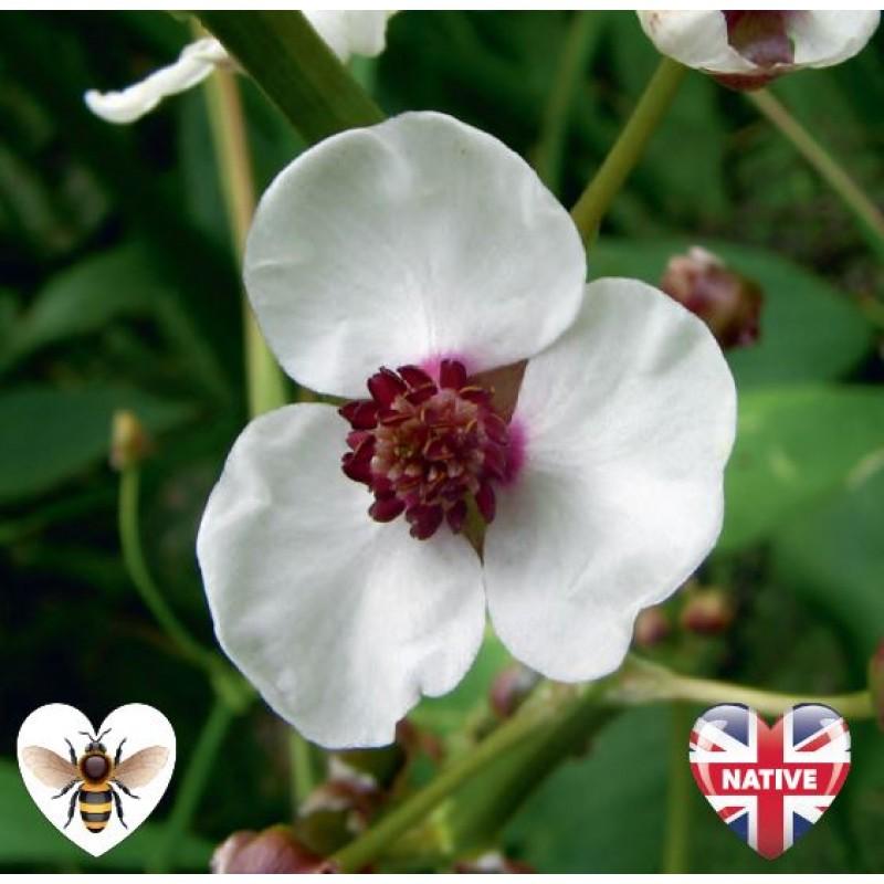 Arrowhead (Sagittaria sagittifolia) - 9cm