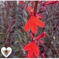 Red Leaved Lobelia (Lobelia fulgens 'Queen Victoria') - 9cm