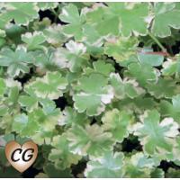Crystal Confetti (Hydrocotyle sibthorpioides variegata) - 9cm