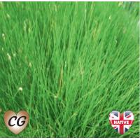 Dwarf Hairgrass (Eleocharis acicularis) - 9cm