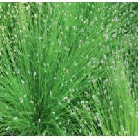 Fibre Optic Plant (Scirpus cernuus) - 9cm