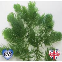 Hornwort (Ceratophyllum demersum) - Bunch