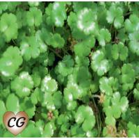 Miniature Pennywort (Novae-zelandiae) - 9cm