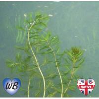 Spiked Water Milfoil (Myriophyllum spicatum) - Bunch