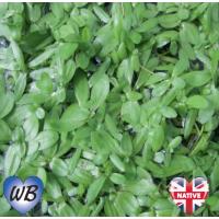 Starwort (Callitriche stagnalis) - Bunch